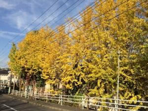 屋敷3丁目のイチョウの黄葉