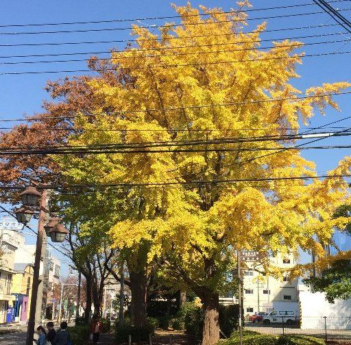 習志野市役所の横のイチョウの木